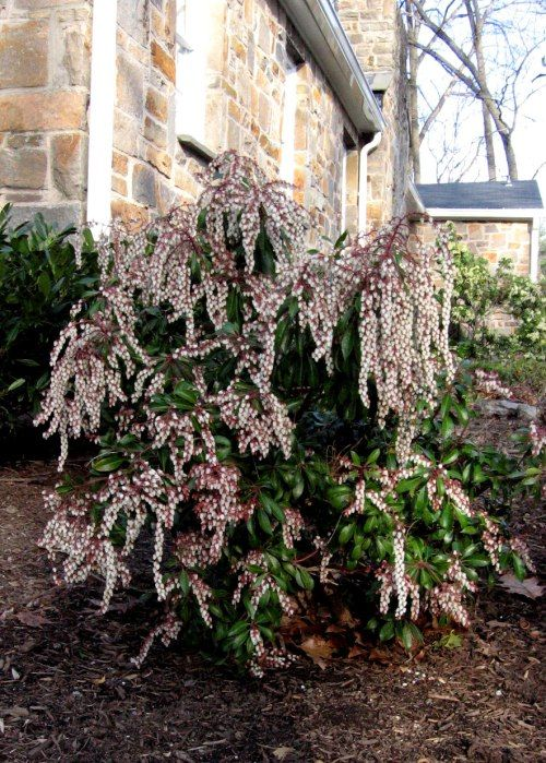 Pieris japonica 'Dorothy Wyckoff', pink variety