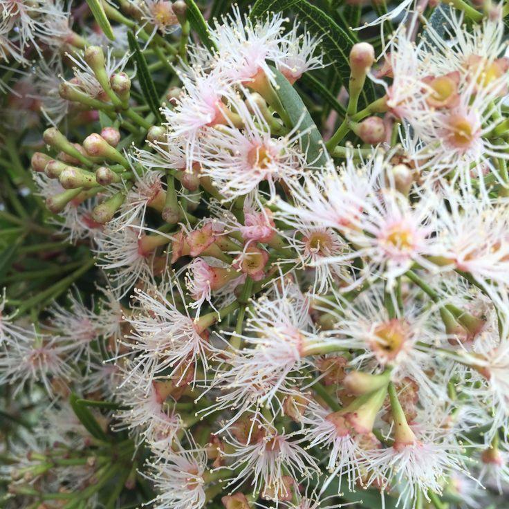 Masses of ethereal Syzygium pondoense flowers (Pondo Waterwood)