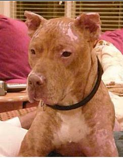 """""""Louis Vitton, beaten and set on fire by the family's """"son"""". And we dare to call pitbulls the monsters. you will have to go to youtube & type in: Meet Louis Vuitton. Then for his recovery, type in: Louis Vuitton: A Life Defined---- so sad"""