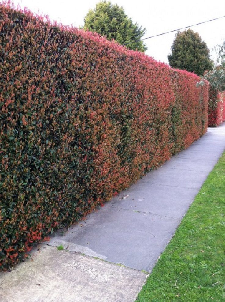 TOP 10 Best Plants for Hedges and How to Plant Them