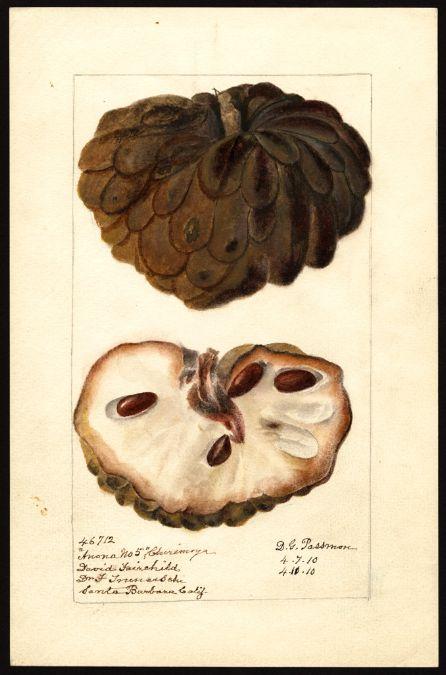 http://usdawatercolors.nal.usda.gov/download/POM00007388/screen  Artist:     Passmore, Deborah Griscom, 1840-1911  Scientific name:     Annona squamosa  Common name:     sweetsops