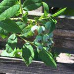 Bakken met eigen fruit is heel tof in onze tuin vind je dan ook bramen frambozen blauwe bessen en aardbeien Hoewel de honden er vorig jaar een handje van hadden mijn struiken te slopen ben ik toch wel erg trots De blauwe bessen doen het ieder jaar beter minimoestuin blauwebessen blueberry garden
