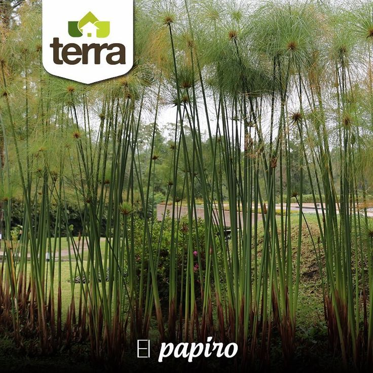 El Papiro es una planta que brinda un follaje muy hermoso a la hora de decorar un jardín. Son de fácil cuidado por lo cual mantenerlos húmedos y con buena exposición al sol es fundamental, además deben ir sembrados en cantidades importantes para que se protejan del viento unos a otros y cuando la planta se va poniendo amarilla debes cortarla para que vuelva a crecer.