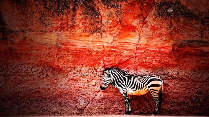 Скачать обои зебра, стена, камень, раздел минимализм в разрешении 1920x1080