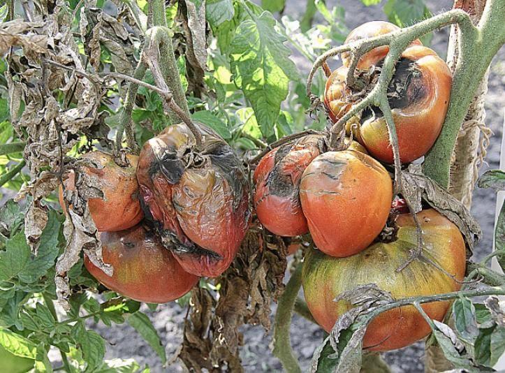 Taches noires sur les tomates - F. Marre - Rustica - Potager de Jean-Marc