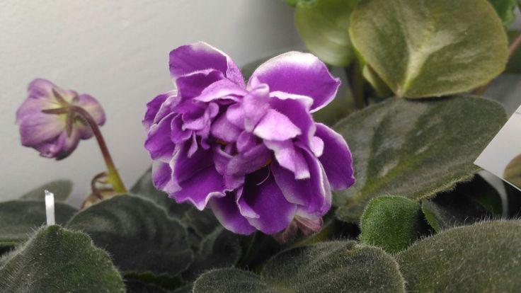 Princessa Vishenka 1st blossom