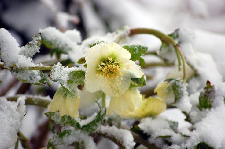 hellebore-in-snow.jpg (1734×1153)
