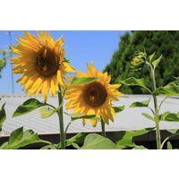 Sunflower- Hisun $1.50