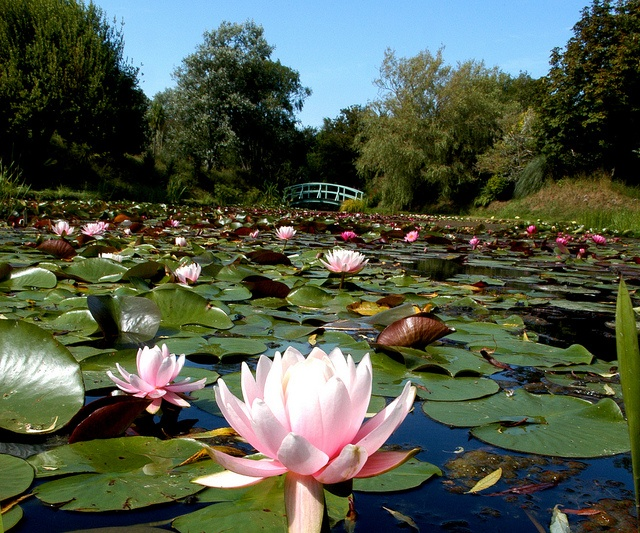 Weymouth, Bennetts Water Gardens Lily Pond by dorsetforyou.com, via Flickr