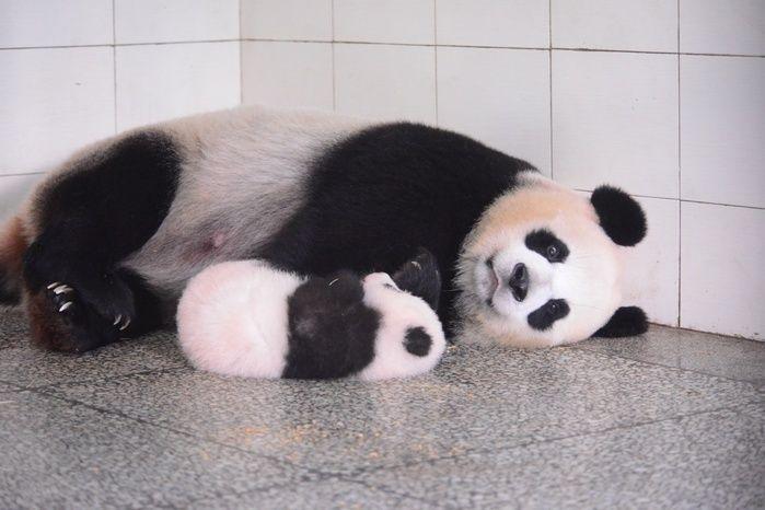 【写真特集】パンダの赤ちゃん 母のそばでぐっすり 中国・四川省(アフロ) - Yahoo!ニュース