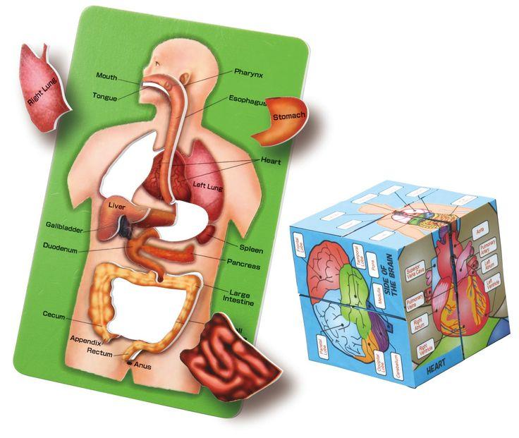 76 Best Human Anatomy Images On Pinterest Human Anatomy Human