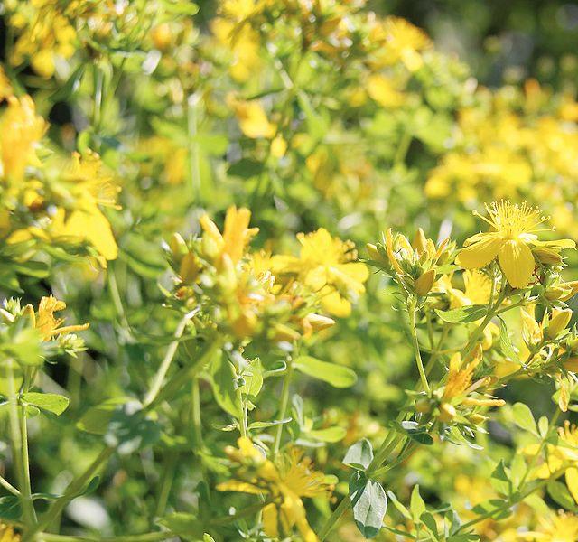 Ezek hatásos nyugtató, altató, feszültségoldó növények - Mellékhatás nélkül!