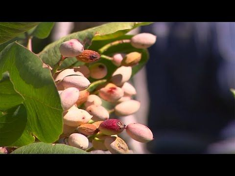 A small fruit, a great excellence: the pistachio from Bronte - YouTube