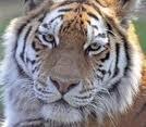 tijgerprint