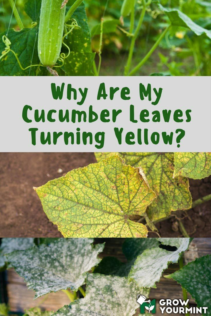 Sitemap With Images Cucumber Leaves Turning Yellow Plant