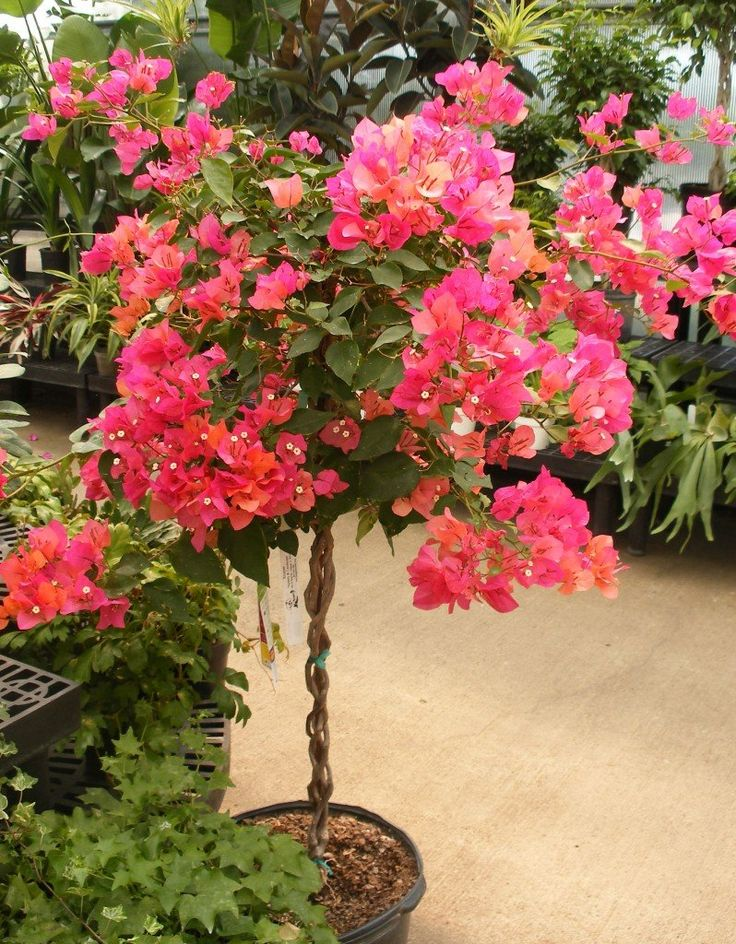 bougainvillea tree 001