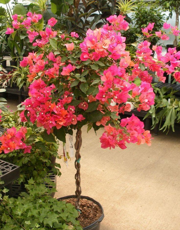 25 best ideas about bougainvillea tree on pinterest for Bougainvillea bonsai prezzo