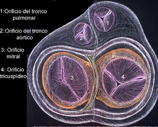 Además del músculo cardíaco el corazón posee tejido conectivo denso, que forma el esqueleto fibroso del corazón.  Este esqueleto consta de: - Válvulas cardíacas. - Anillos fibrosos. - Trígonos fibrosos. - Tabique membranoso interventricular. - Cuerdas tendinosas.
