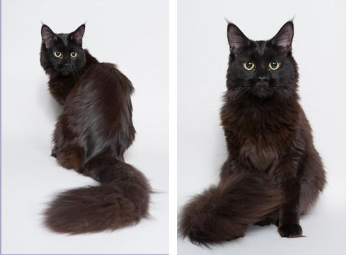 #MaineCoon #Black #Solid #Cats Wildfire of Magic Craft