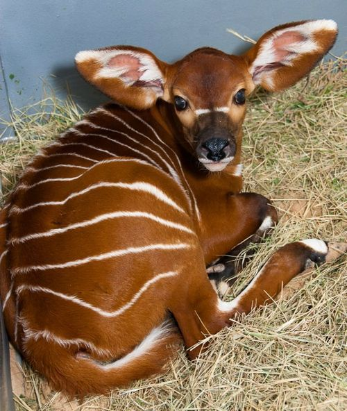 Brody the baby bongo. The most recent addition to my favorite animals list