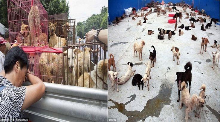 """Αποκάλυψη:Σκυλιά που σώθηκαν από την Yulin πεθαίνουν τώρα σε """"κέντρο"""" διάσωσης στη Κίνα"""