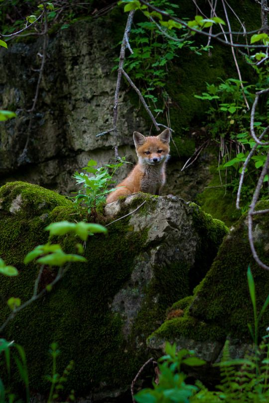 Red Fox Cub by Brian Behling                                                                                                                                                     More