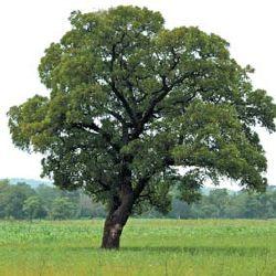 how to grow shea tree