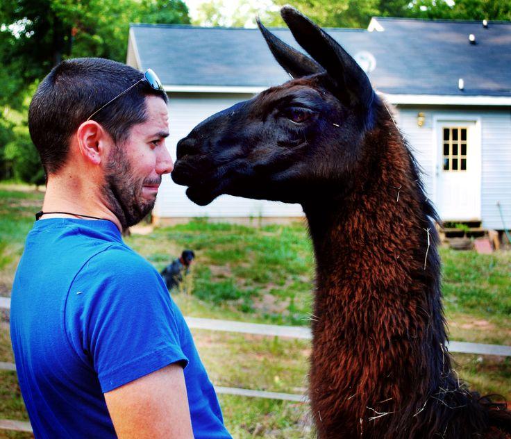 @PeruInsideOut #Llamas VS #Alpacas #Travel www.peruinsideout.com