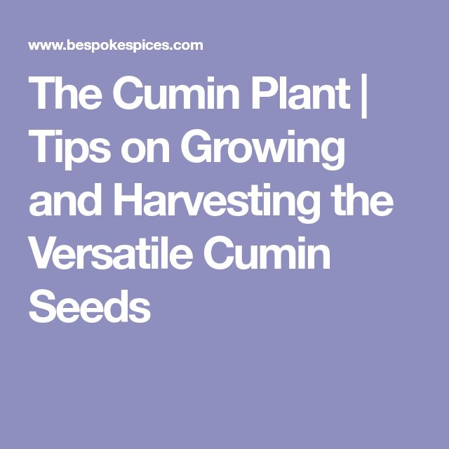 The Cumin Plant   Tips on Growing and Harvesting the Versatile Cumin Seeds