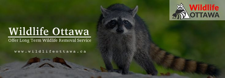 Wildlife Ottawa offers reliable & cost effective #pest #control service at affordable costs. Contact us now & get pest free home & office, whether it is #raccoon, #squirrel, #possum, #bat, #skunk, etc.