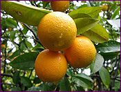 Sweet Orange Essential Oil, Uplifting benefits for Winter Blues~