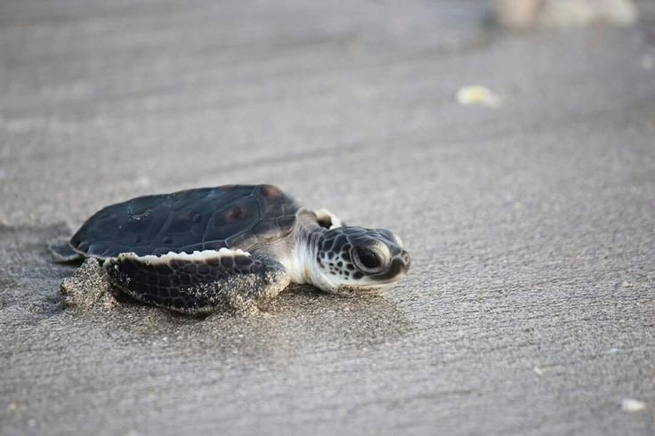 Turtle release at Klui Beach