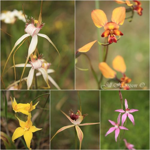 South West Australian wildflowers by Jill Harrison writing at Lifestyle Fifty