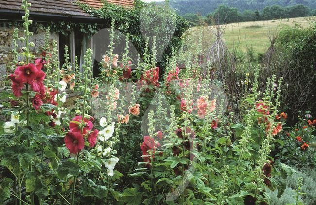 Sarah shares her instructions on how to sow and grow hollyhocks for that typical cottage garden look.