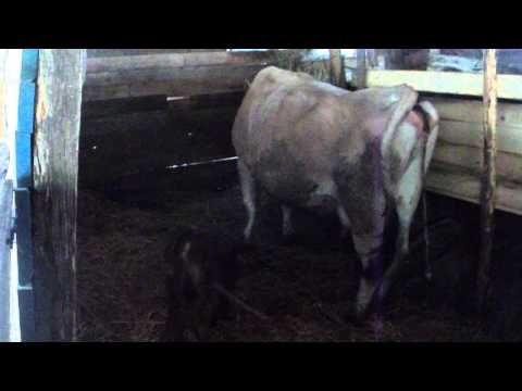 Agriturismo Il Filo di Paglia. Primi passi della vitellina.