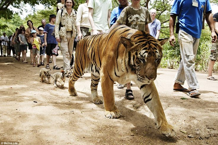 Melissa Lee. A tiger and its two tiny cubs walk among the tourists at a Buddhist forest monastery and animal sanctuary in Kanchanaburi province in Thailand, now better known as Tiger Temple