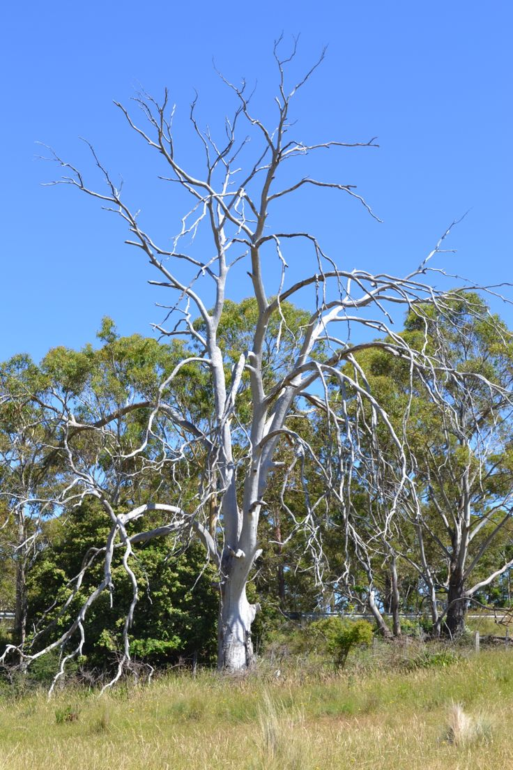 A white tree at Lisdillon on the east coast of #Tasmania