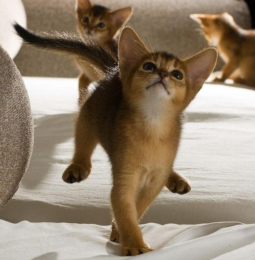 thepaintedbench:  Abyssinian Kittens