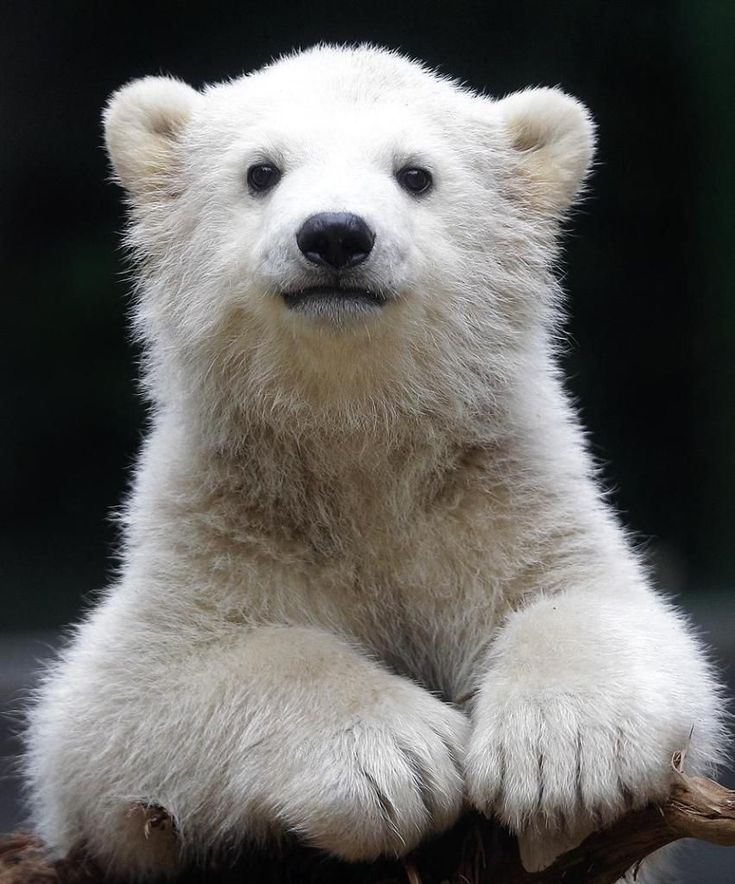 Polar bear cub Anori explores the outdoor enclosure at the zoo in Wuppertal, Germany, on Monday, April 23, 2012. Anori was born on January 4 and is becoming a visitor's highlight. Photo: Frank Augstein, AP / AP :)