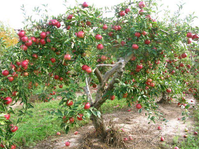 Pink Lady Apple Tree Pink Lady Apples Apple Tree Gardening Apple Tree