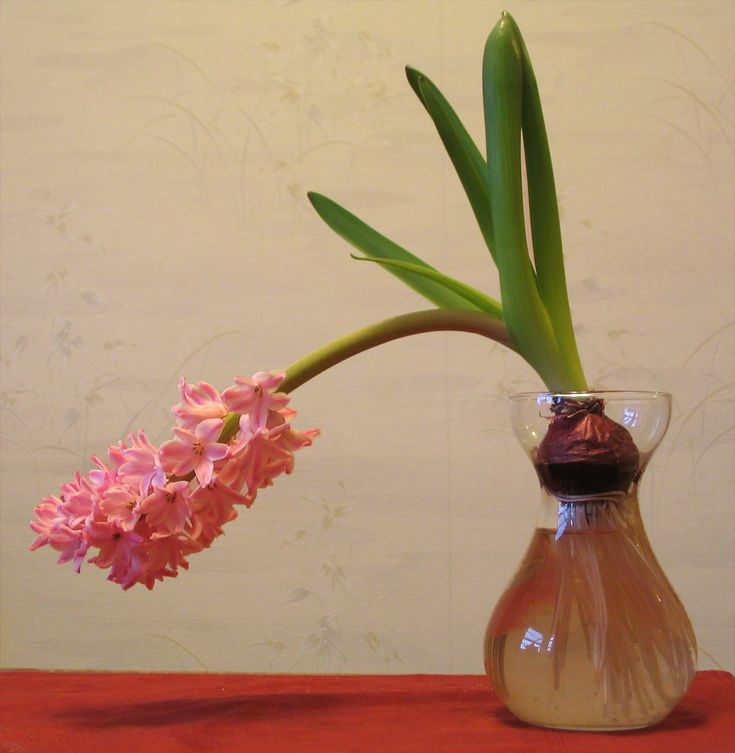 Are your hyacinths falling over? Don't worry, there is a silver lining. This is a common issue that many people encounter when growing these plants. Learn more about supporting top heavy hyacinth flowers here.