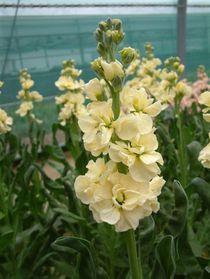 143- de l'innovation en Giroflée - § JARDIN LE NÔTRE: .. telles les véroniques, primevères, oreilles d'ours (Auricula Ursi, famille des primevères), marguerites, campanules, GIROFLEES, violettes, iris, oeillets d'Espagne, vigne vierge.- MARLY: L'absence de parterres fait place à une profusion florale: 149 000 bulbes de narcisses et de jonquilles, des GIROFLEES, des juliennes blanches doubles et des renoncules... plantés sur les terrasses inférieures bordées d'arbustes et d'arbres taillés.