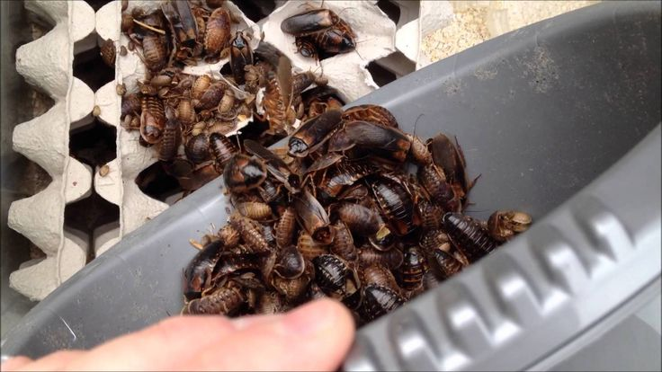 Learn how to breed dubia roaches with this easy how-to guide. Breeding dubia roaches is very useful if you have a lot of reptiles and amphibians to feed.