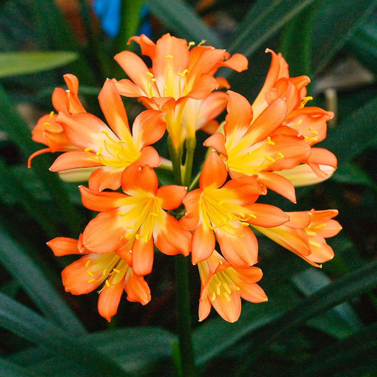 Clivia miniata,  (Ansie Pink x Wittig Pink) x sibling.  Colorado Clivia's plant number 2350A.