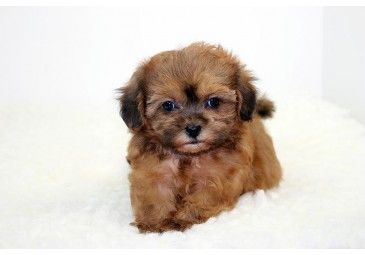 chocolate teacup maltipoo - photo #27