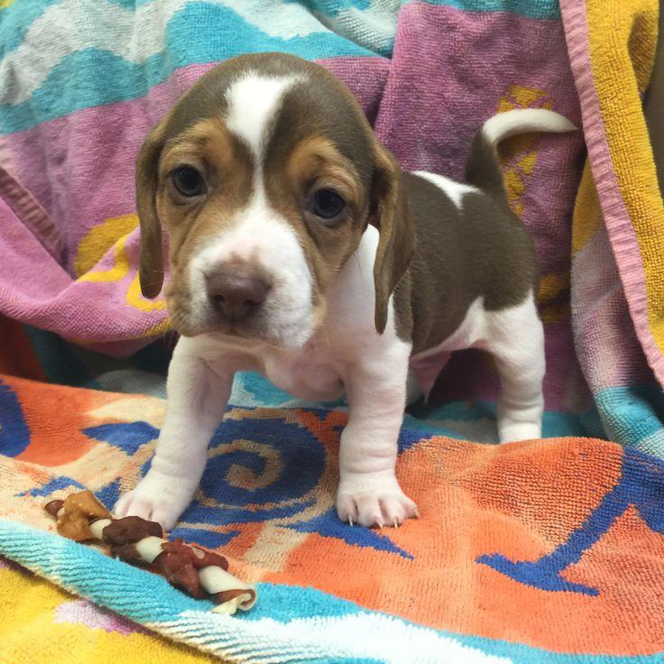 Mini beagle, toy beagle, pocket beagle, miniature www.pocketbeagleny.com