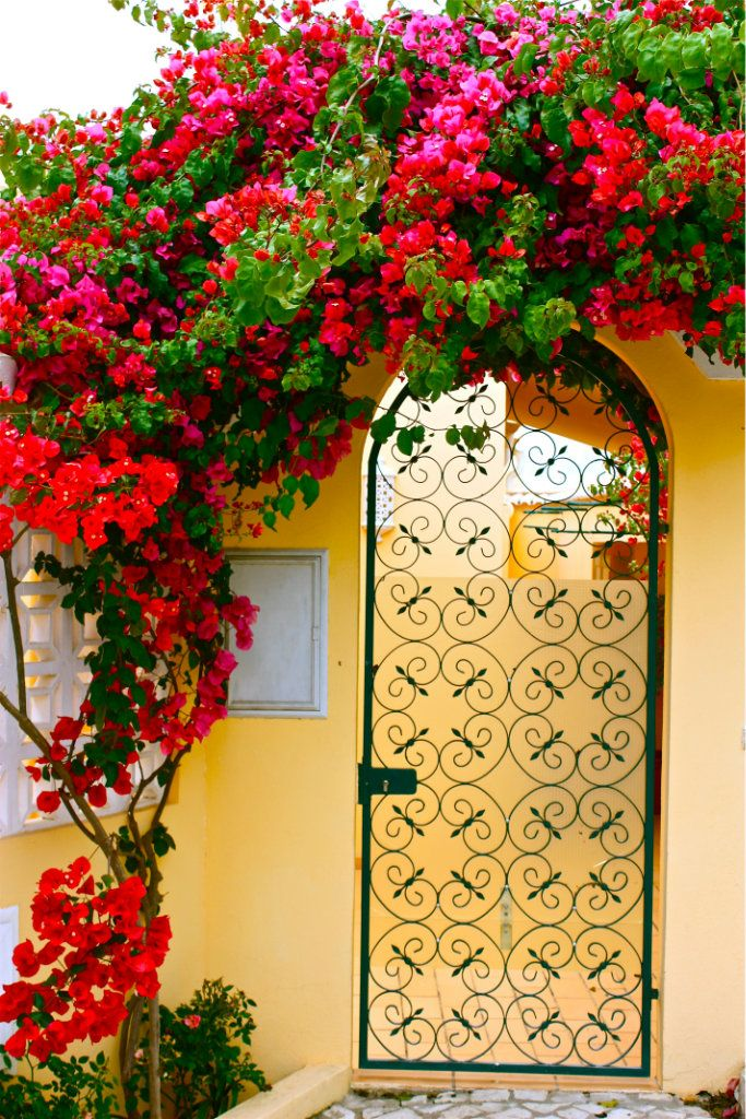 OMG Bougainvilleas - my #1 favourite garden plant! My dream is to grow them like this somewhere, anywhere in my garden!!
