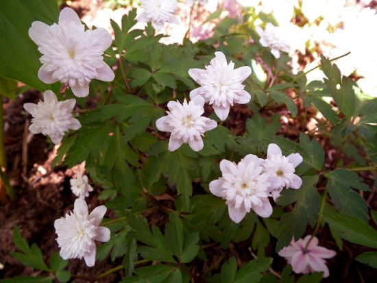 "Anemone 'Pink Delight'. Anemone nemorosa. 6"" tall. Blooms April-May."