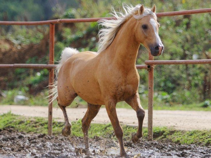 Un cheval palomino au paddock de détente