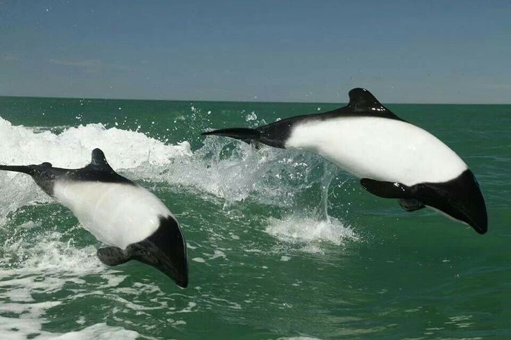 Commersons Dolphins. | Life in the water | Pinterest